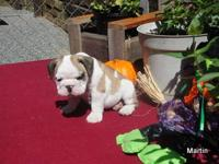 ENGLISH BULLDOG PUPPIES, AKC REGISTERED SHOW QUALITY