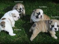 We have 4 English Bulldog puppies available. We have 1