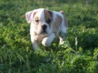 English Bulldog Puppies! Last 2 Males left !! $800 firm