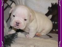 English bulldog young puppies, NKC signed up, fawn & &