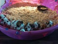 English Bulldogs $2000. Still offered 1 male and 3