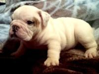 6 week old CKC registered English bulldogs, English