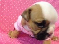 ENGLISH BULLDOG PUPPIES. 100 % PERCENT PUREBREED