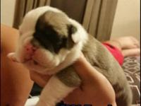 Rehoming 4 male english bulldog young puppies. They