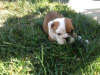 AKC English bulldog puppies, 3 males 2 females, shots