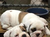 English bulldog puppies, shots up to date, wormed, and
