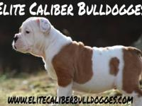 Phenomenal Olde English Bulldog young puppies! They are