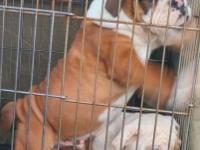 English bulldog male puppies beautiful red & white