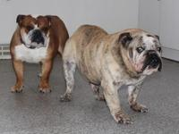 English Bulldog puppies here and will be ready to go