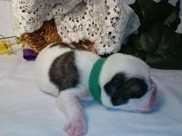Now taking deposits for English bulldog puppies born