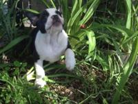 English bulldog puppies. up to date on their shots and