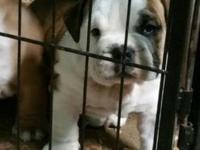 English Bulldog Pups. Males ready to go in one week.