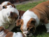 Stunning litter of 7 English bulldog puppies,big