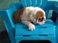Marvelous male and female bulldog Puppies for