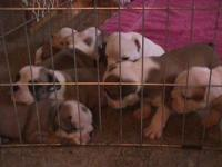 I have 9 English Bulldog Puppies for sale AKC