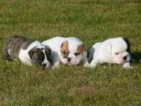 Animal Type: Dogs Breed: Bulldog English bulldog