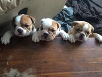 I have two very healthy and strong male English Bulldog