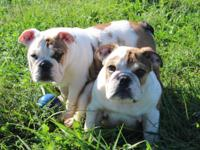 We have two super cute male English Bulldog puppies