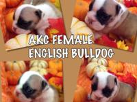 100% PURE BREED ENGLISH BULLDOG PUPPIES NOW ACCEPTING