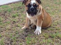 English Bulldog puppies! I have 3 males and 2