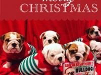 Male and female English bulldog puppies 11 weeks old in