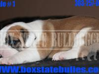 We have 3 Olde English Bulldogges available. They are