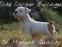 Olde English Bulldog puppies IOEBA reg. 8 weeks old.
