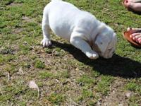 Both male and female bulldog puppies are available and