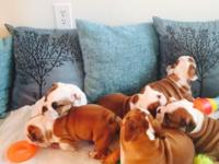 Gorgeous litter of English bulldogs puppies that we