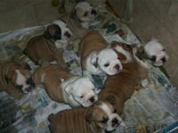 we have available English & French Bulldogs. Male and