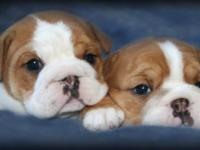These adorable little English Bulldog puppies (1 male,