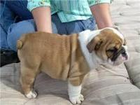 Well trained English Bulldog puppies available for