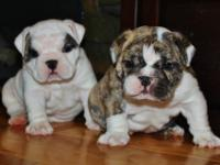 12 week old male and female English bulldog. these