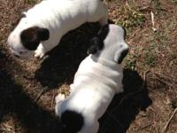 Mastidane Pups For Sale In Ohio Classifieds Buy And Sell In Ohio