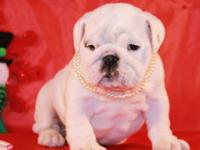 A stunningly beautiful bulldog puppies for sale . Our