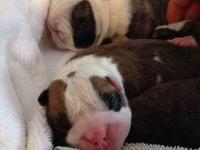 Beautiful English bulldogs puppies for sale, Akc