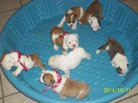 English bulldog puppies for sale. They were raised in