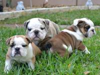 English Bulldog Puppies for Sale - 12 wks old, AKC