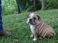 precious male and females English Bull dog puppies