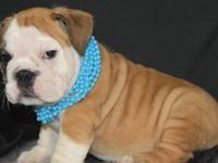 English bulldog puppies for sale,,only text