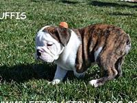 Ruffis AKC Registered Brindle and White