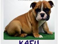 BULLCANES BREEDERS English Bulldog Puppies, French