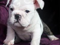 Adorable English Bulldog Puppies For Sale - Male and