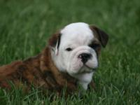 I have 2 English Bulldog Puppies male still available