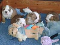 Lovely English Bulldog Puppies Available. These guys