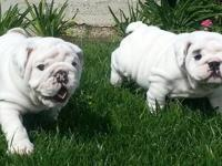 Solid white English Bulldog pups - 1 boy/ 1 girl - 11