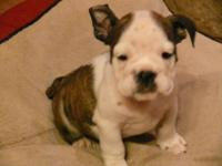 AKC Brindle and white Female English Bulldog with one