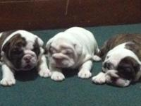 Great looking akc english bulldog puppy birthed 4/25/14