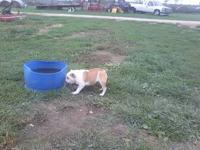 I have a very short male English bulldog for adoption
