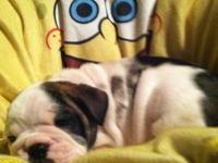 Valentine is a English bulldog puppy (3/4 English 1/4